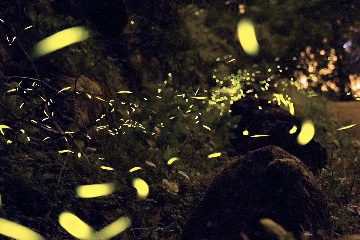 Sankeien garden firefly evening 2019 japanistry for Espectaculo de luciernagas en tlaxcala
