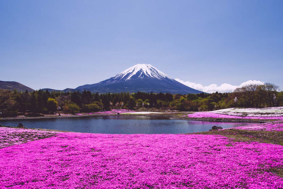 Fuji Shibazakura Festival 2019 Japanistry Mount Shizuoka Tourist Pass Mini 3 Days